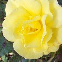 роза :: надя кулинич