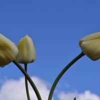 Три тюльпана. :: zoja