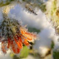 Первый снег.Последние цветы. :: Павлова Татьяна Павлова