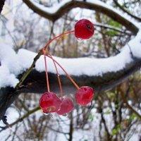 Почти зимняя вишня :: Milocs Морозова Людмила