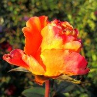 Роза в октябре... :: Тамара (st.tamara)