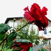 роза после дождя :: Юрий Владимирович