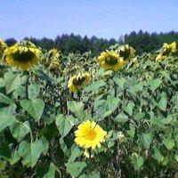 Руськое (Украинское) поле :: Миша Любчик