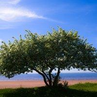 Яблоня в цвету :: Ирина Кулагина