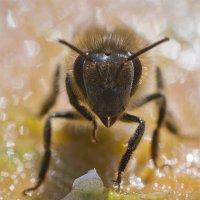 Пчёлка :: Александр Русинов