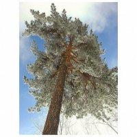 Сосна в снегу :: Evgeniy Ignashin