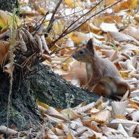 Из жизни лесных белок Фото №3 :: Владимир Бровко