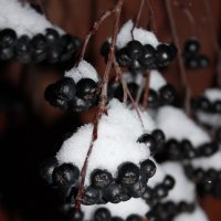 Ягодки под снегом :: Ekaterina Poluektova