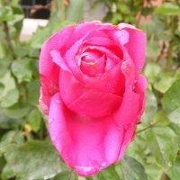 Розовая роза  запоздалая осенняя... :: Александр Скамо