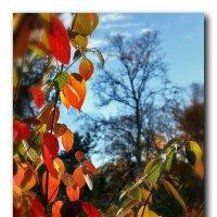 Осеннний багрянец :: Лариса Шамбраева