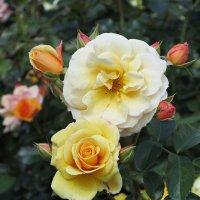 Роза желтая,роза чайная,  аромата необычайного.... :: Ирина