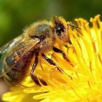Пчёлка :: Татьяна Н.