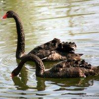 Черные лебеди... :: Олег Лукьянов