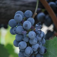 виноград :: mirtine