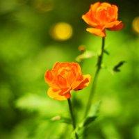 Жарки, как огоньки горят среди травы... :: Ирина Трифонова