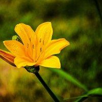 Ах какой же он сладостный - этот цветок измены. :: юрий Амосов