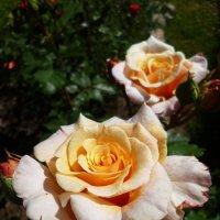 роза Caramella :: lenrouz