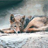 Про волков :: Володя Левин