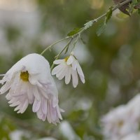 Раптом сніг на зеленому листі :: Ольга Винницкая