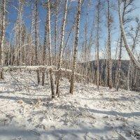 в березовом лесу :: Дамир Белоколенко