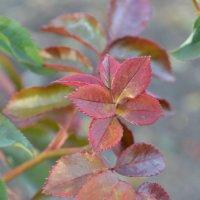 Листья розы :: Кристина Клишина