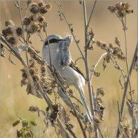 Серый сорокопут с мышкой :: Анна Солисия Голубева