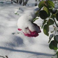 роза :: Евгений Гузов
