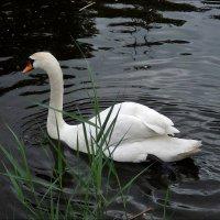 Белый-белый лебедь тихо уплывал... :: Нина Корешкова