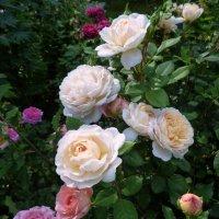 розы Д.Остина :: lenrouz