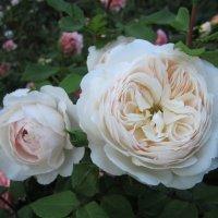 роза Crocus Rose :: lenrouz