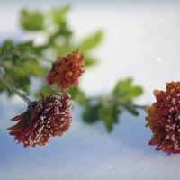 Застыли хризантемы в сне хрустальном :: Ирина Подольская