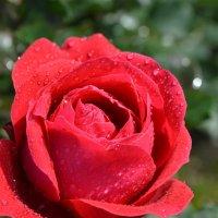 roza :: Schbrukunow Gennadi