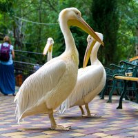Ялтинский зоопарк, пеликаны :: Иван Дмитриев