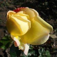 Позднее цветение... :: Наталья