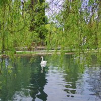 Лебединый пруд. :: Ирина Нафаня