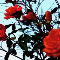 розы в последние дни октября.... :: Юрий Владимирович