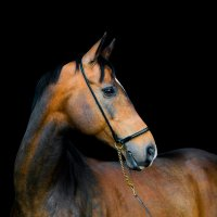 Akhal-Teke stallion :: Alesya Safe