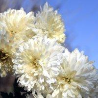 Еще цветут хризантемы в саду... :: Мария Климова