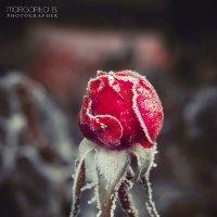 Царица цветов окутана инеем :: Маргарита Б.
