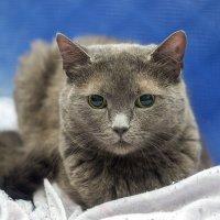Моя кошка - Анфиса :: Богдан Петренко