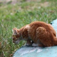 Рыжий кот :: Сергей Касимов
