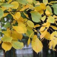 Осенние листья. :: Олег Афанасьевич Сергеев
