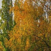 С берез, неслышен, невесом, слетает желтый лист. :: Александр Корчемный