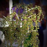 Бисерная береза :: Светлана marokkanka