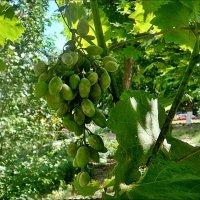 Созревает виноград... :: Нина Корешкова