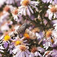Бабочка, похожая на колибри... :: Елена Васильева