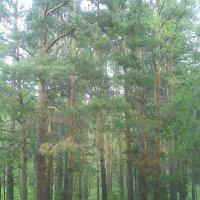 73. Сосновый лес :: Александр