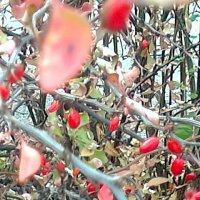 ягодки барбариса висят :: Galina194701