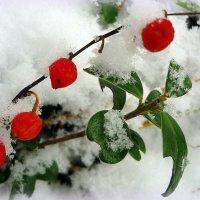 Как капельки крови на белом снегу.Плоды ландыша :: Павлова Татьяна Павлова