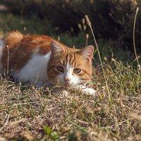 Рыжий охотник... :: Елена Васильева